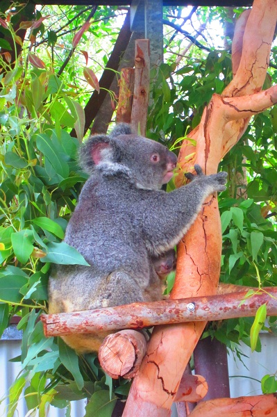 Der Kleine hat sich gut unter derm Arm der Koala-Mama versteckt