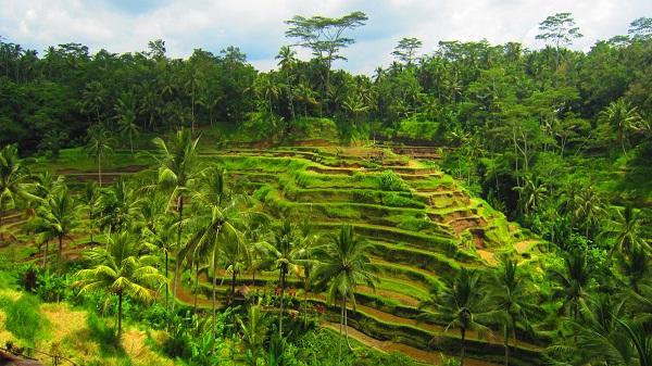 Reisterrassen in der Nähe von Ubud